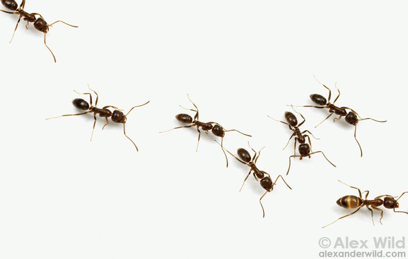 A trail of Argentine ants, Linepithema humile.  Davis, California, USA