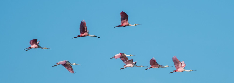 Spoonbills flying to the island