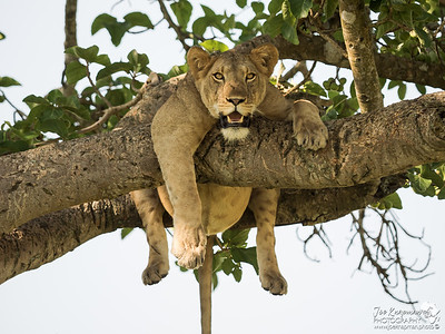Lioness chilling in a tree