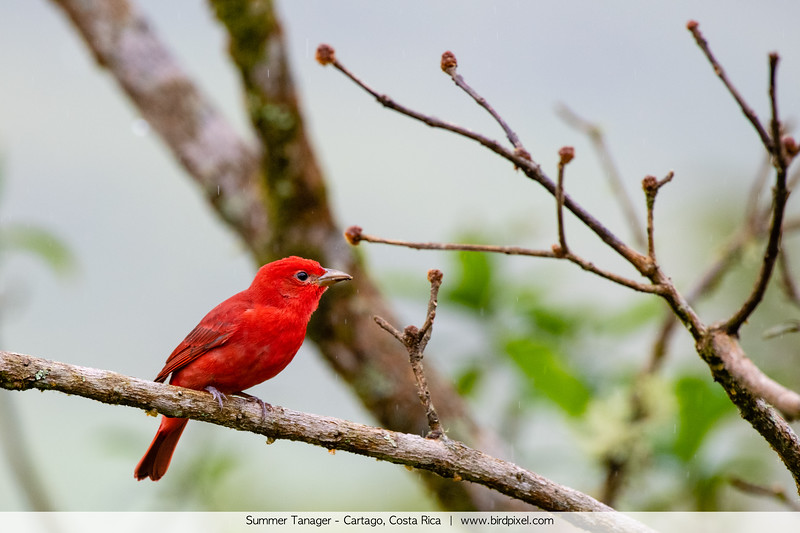 Summer Tanager - Cartago, Costa Rica