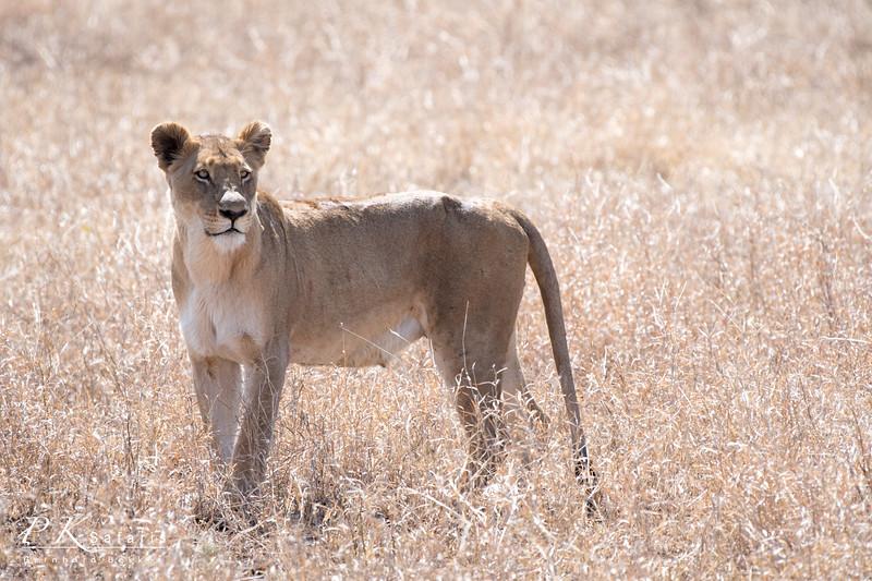 Lioness mid shot