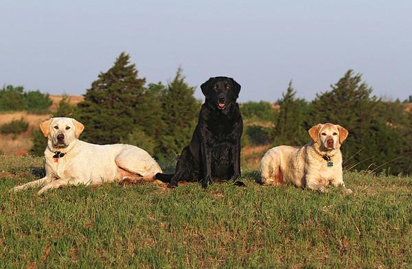 3 Labradors.jpg