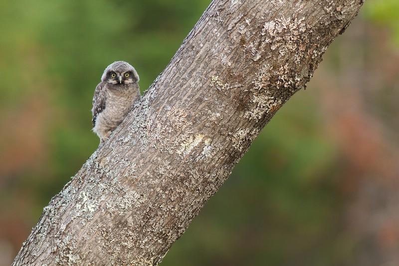 Northern Hawk Owl baby juvenile Owl Ave Sax-Zim Bog MN Northern Hawk Owl baby juvenile Owl Avenue Sax-Zim Bog MN IMG_1212.jpg