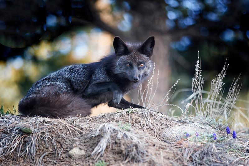Black fox arising from sleep.