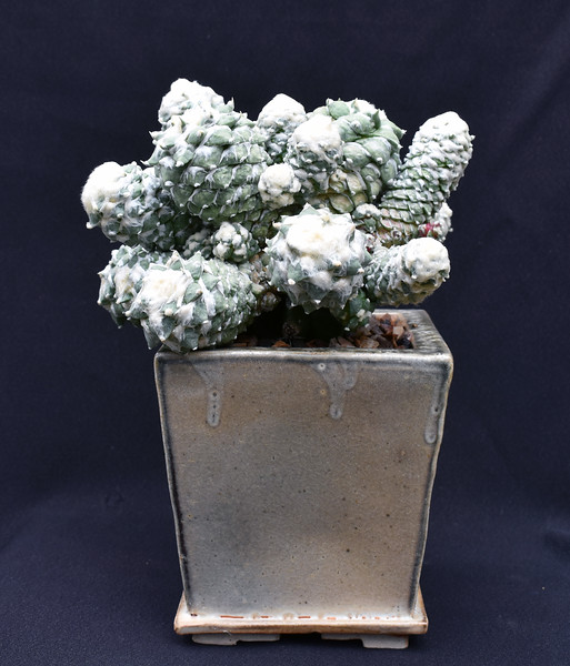 Ariocarpus retusus ssp furfuraceus monstrose