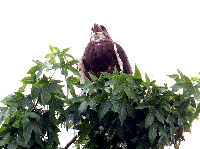 Swainsons Hawk_2.jpg.jpg
