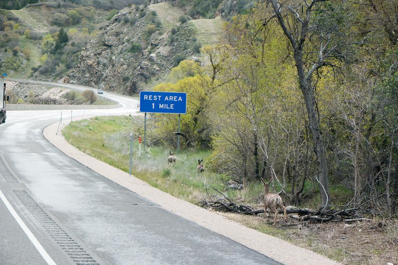 Utah I-84 Mule Deer