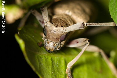 Northeastern Pine Sawyer Beetle