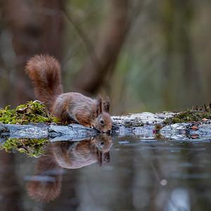Ekorn (Red Squirrel)