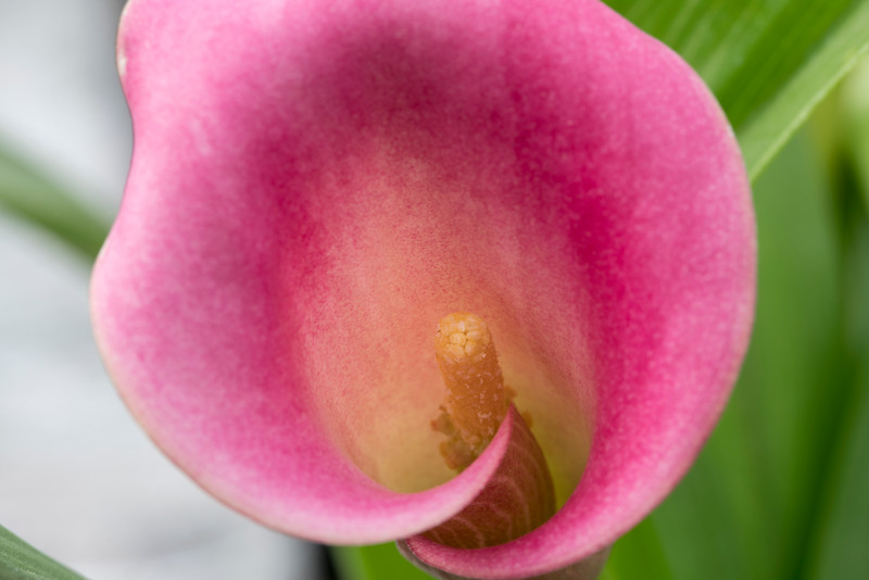 Pink Calla Lily_011