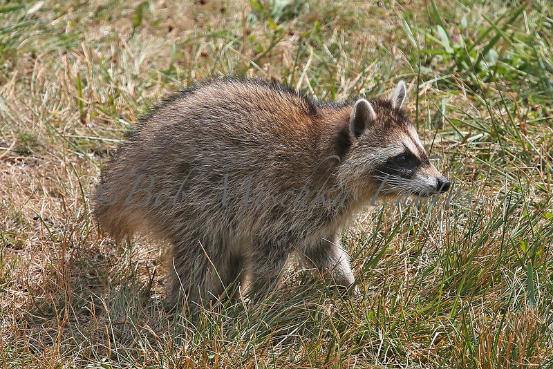 Raccoon Cub_4213.jpg