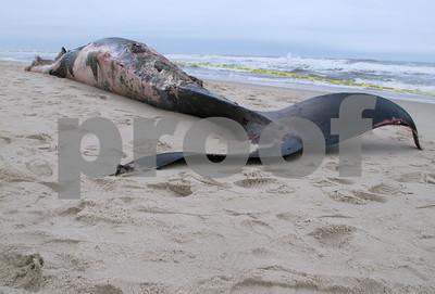dead-43foot-whale-washes-up-on-beach