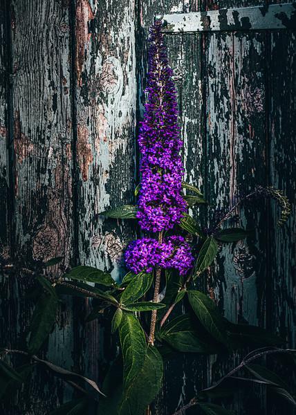 Purple budlea.jpg