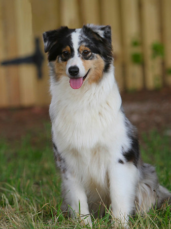 Riverwind Australian Shepherds