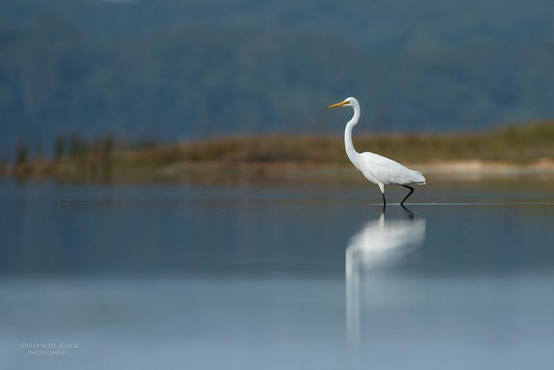 Great Egret, Lake Wollumboola, NSW, Nov 2014-1.jpg