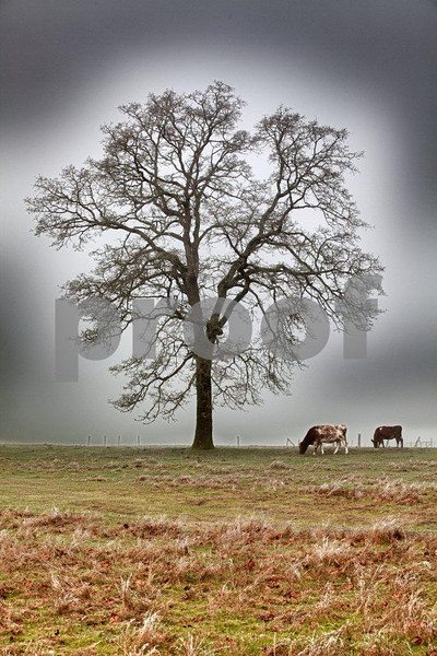Oak & 2 cows 4277_HDR.jpg