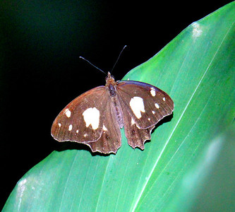 Unidentified Butterfly (brown & white)