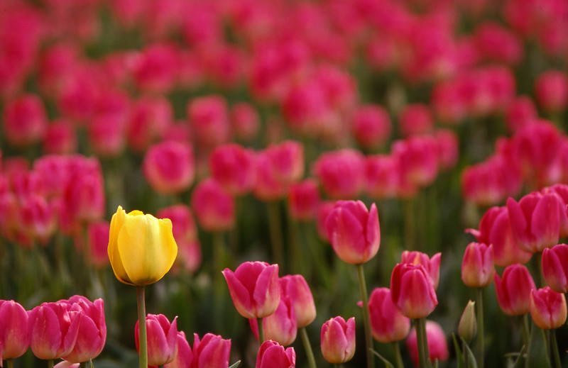 21-Tulips pink yellow skagit valley.jpg