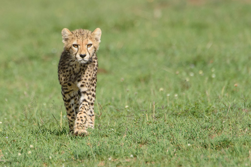 Young Cheetah with hist tough kitten face on.
