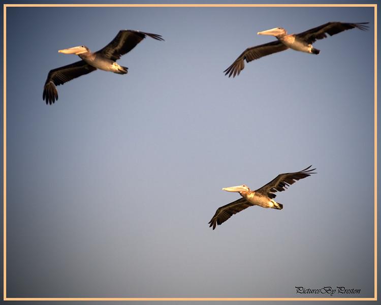pelicansinpync-Edit.jpg