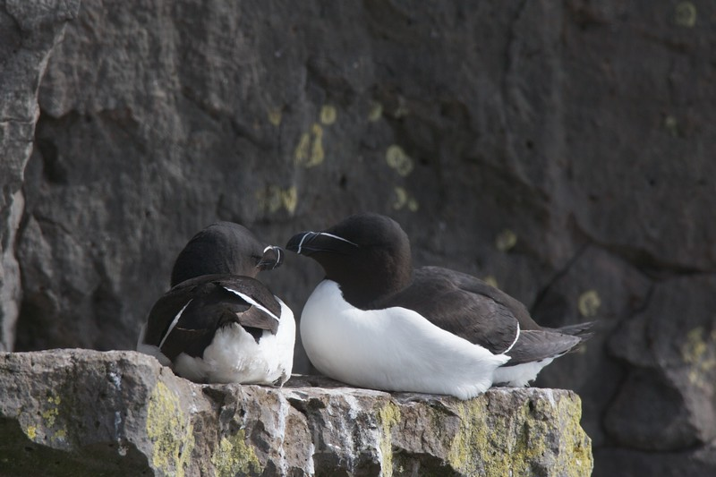 A pair of razorbills sit on a cliff