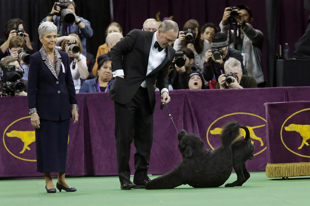 . Michael Scott shows Matisse, a Portuguese water dog, during the working group competition at the Westminster Kennel Club dog show, Tuesday, Feb. 17, 2015, at Madison Square Garden in New York. Matisse won the working group. (AP Photo/Mary Altaffer)