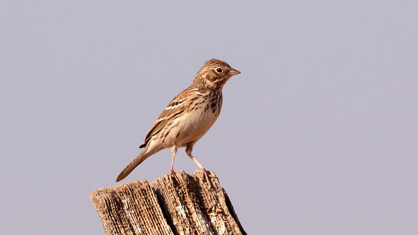 STA Birds 12 - House Sparrow, Pipits, Finches, Longspurs & Sparrows