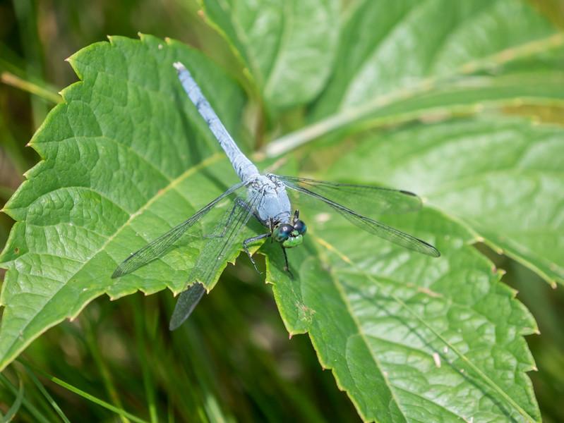 Eastern Pondhawk (M) - Erythemis simplicicollis