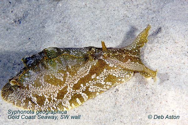 Sea Slugs other than Nudibranchs