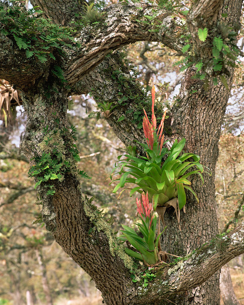 Tamaulipas, Sierra Tamaulipas, Mexico / Flowering   Bromeliad, Tillandsia sp. in oak, Quercus sp., forested mountains. 204V5