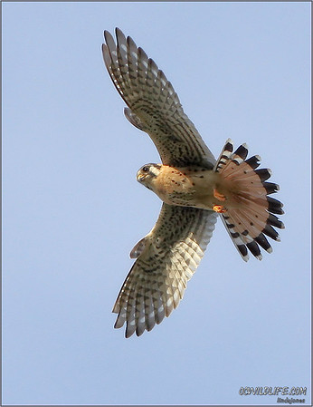2011, Wildlife of the new year, Kites, Kestrel, Kingfisher, Harriers, hummer, Osprey, Wren