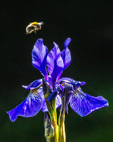 Buff tailed Bee on Iris 5283.jpg
