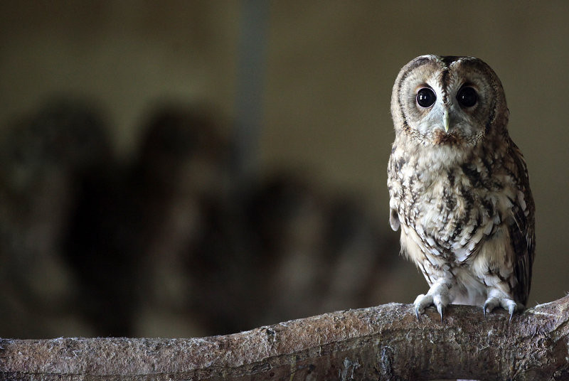 . A rescued young tawny owl perches on a branch as it waits to be released back into the wild at the RSPCA West Hatch Wildlife Centre on August 28, 2012 in Taunton, England. Between January and the end of July, 33 of the baby birds were taken to the RSPCA centre in Somerset for care, a large increase on previous years. Although the exact reason for this rise is unclear, it is thought the topsy-turvy weather conditions and some extremely windy days through the spring and summer may have contributed.  (Photo by Matt Cardy/Getty Images)