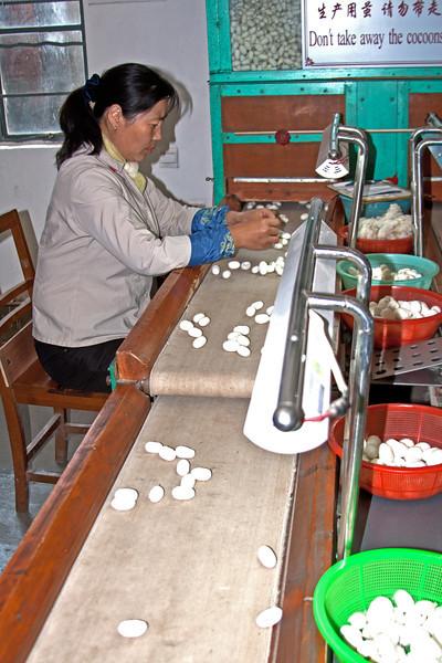 sorting silkworm cocoons