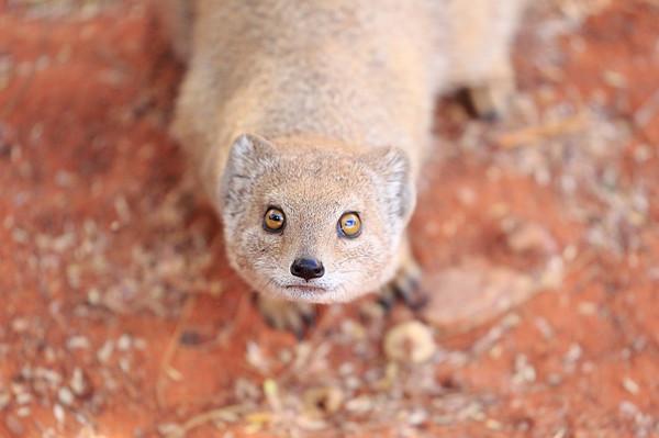 Yellow Mongoose Tswalu South Africa 2016