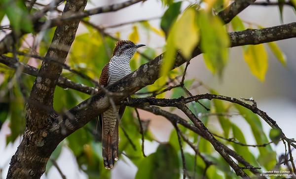 Cuckoos, Coucals Etc