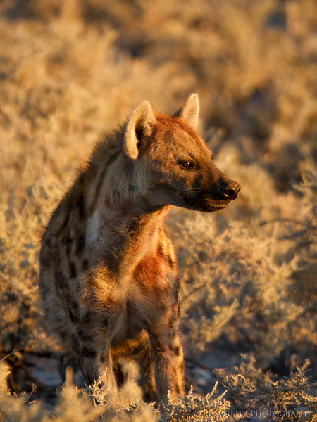Spotted hyena - Etosha National Park, Namibia