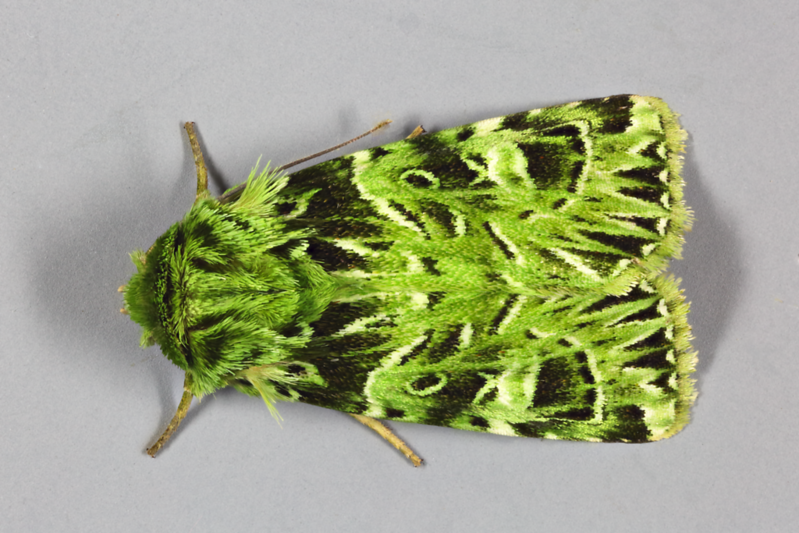 Pachythrix hampsoni Nye, 1975 (Noctuidae)