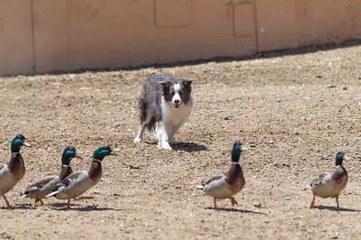 A Ducks