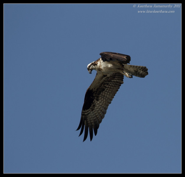Osprey hunting, Robb Field, San Diego River, San Diego County, California, April 2011