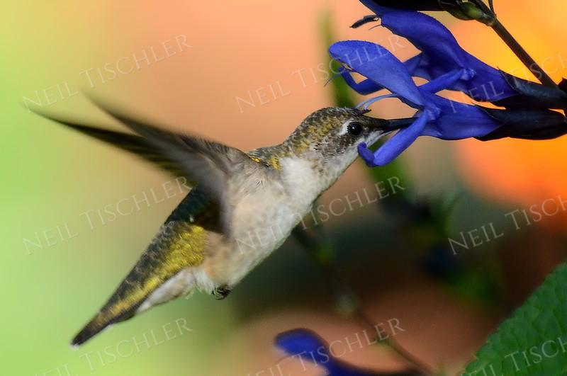 #1088  Ruby throated hummingbird, juvenile male feeding at a black-blue salvia