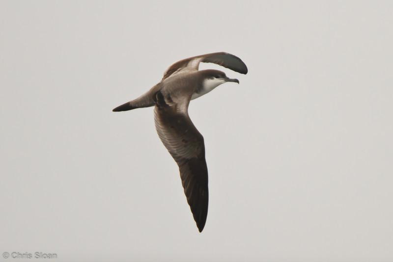 Buller's Shearwater at pelagic out of Bodega Bay, CA (10-15-2011) - 982.jpg
