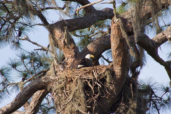 Eagles and Scrub Jays