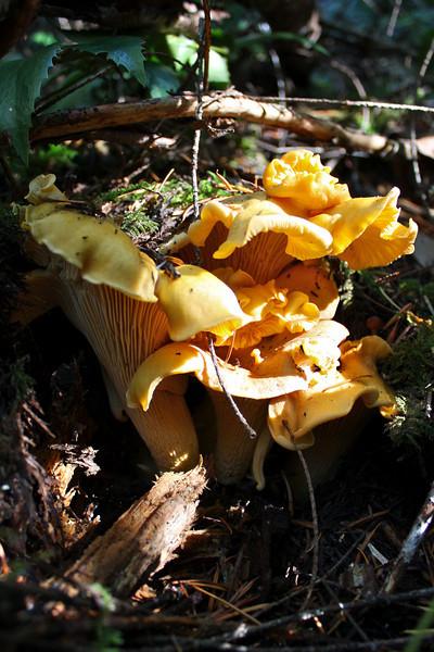 Cantharellus formosus, Golden Chanterelles