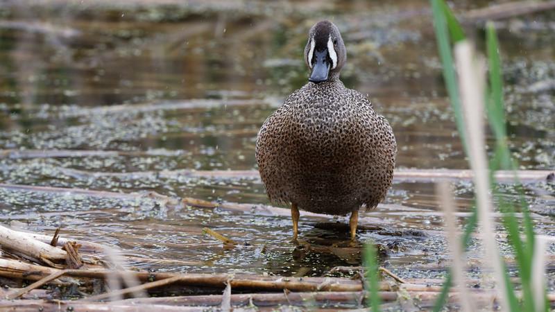 Fluffed Duck