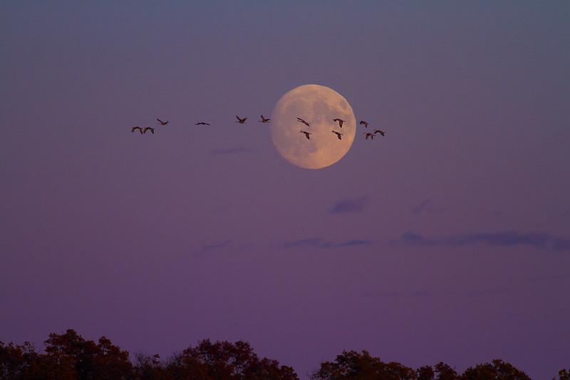 Sandhill Crane full moon fly in flight Crex Meadows Grantsburg WI IMG_1955.jpg