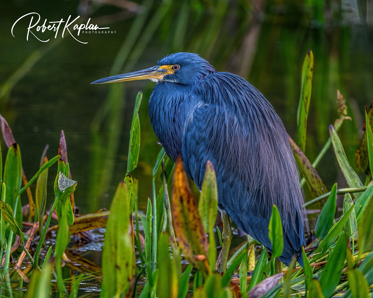 Tri colored Heron Portrait DeNoised_9642-.jpg