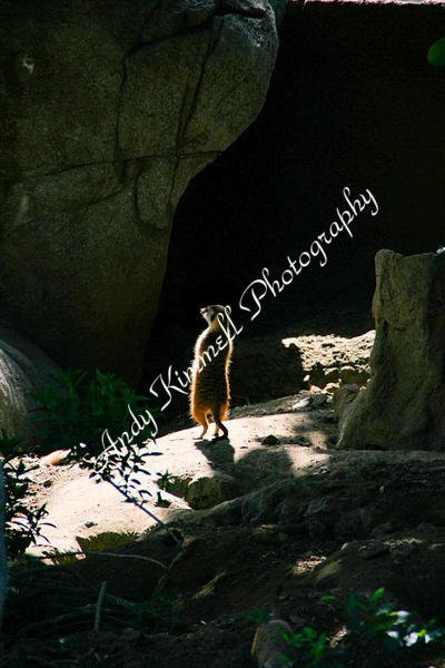 meerkat march 20 2010.jpg