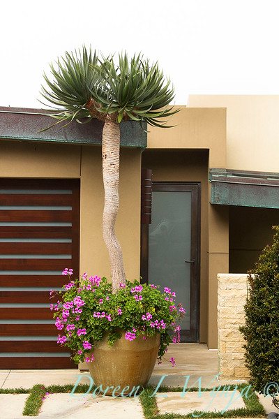 Yucca elephantipes_007.jpg