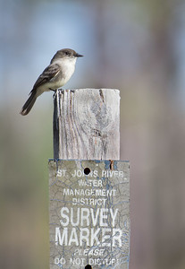 """An Eastern Phoebe who """"doesn't want to be distrubed""""."""